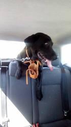 Falou, chien Labrador Retriever