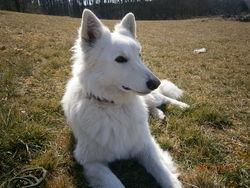 Faloue, chien Berger blanc suisse