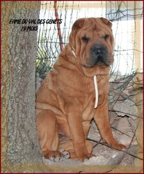 Fame Du Val Des Genets, chien Shar Pei