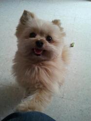 Famous, chien Spitz allemand