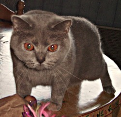 Fancy, chat British Shorthair