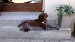 Fandjo, chien Braque allemand à poil dur