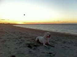 Fanelle, chien Dogue argentin
