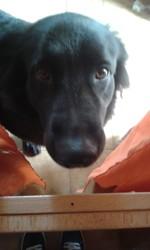 Fanette, chien Berger allemand