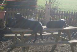 Fanette, chien Labrador Retriever