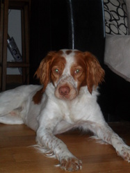 Fanfan, chien Épagneul breton