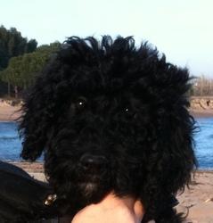 Fanfan, chien Chien d'eau portugais