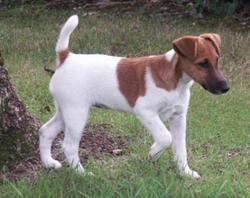 Fanfan, chien Jack Russell Terrier