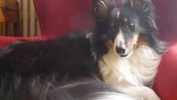 Fango, chien Berger des Shetland
