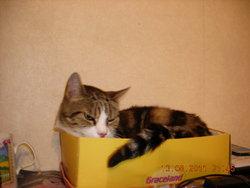 Fannette, chat Européen