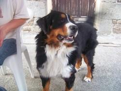 Fannie, chien Bouvier bernois