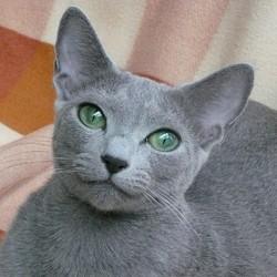 Fannie, chat Bleu russe