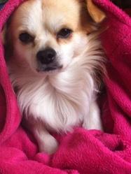 Fannou, chien Chihuahua