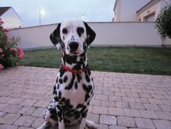 Fanny, chien Dalmatien