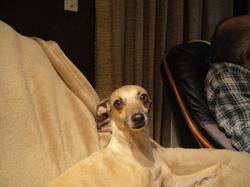 Fanny, chien Petit Lévrier italien