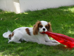 Fanny, chien Cavalier King Charles Spaniel
