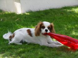 Fanny, chien Cavalier King Charles Spaniel