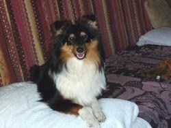 Fanny, chien Berger des Shetland