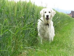 Fanny, chien Golden Retriever