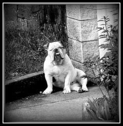 Fanny, chien Bulldog