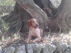 Fanny, chien Setter anglais