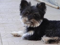 Fanny, chien Chihuahua