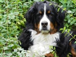 Fanny, chien Bouvier bernois