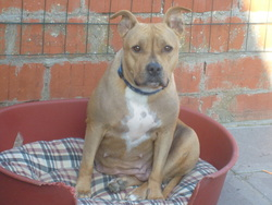 Fanny, chien American Staffordshire Terrier