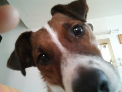 Fanny, chien Jack Russell Terrier