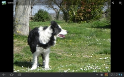 Fanny, chien Border Collie