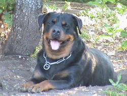 Fanny, chien Rottweiler
