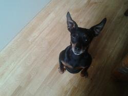 Fanny, chien Pinscher