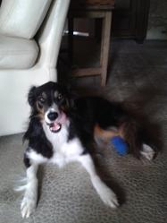 Fanny, chien Border Collie