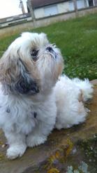 Fanny, chien Shih Tzu
