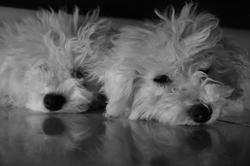 Fanny, chien Bichon à poil frisé