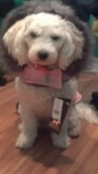 Fanny Blackburn, chien Bichon à poil frisé