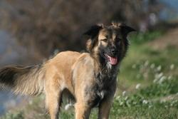 Fanouk, chien Berger belge