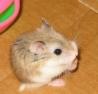 Fanta, rongeur Hamster