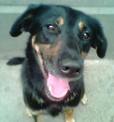 Fanta, chien Berger allemand