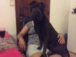 Fanta, chien Shar Pei