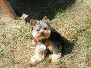 Fanta'Stick, chien Yorkshire Terrier