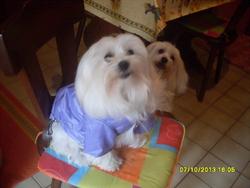 Fantaisie, chien Bichon maltais