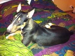 Fantasia, chien Bull Terrier