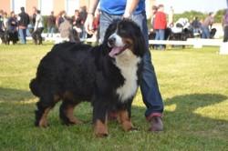 Fantômette, chien Bouvier bernois