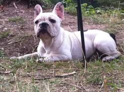 Fantos, chien Bouledogue français