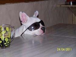 Fany, chien Bouledogue français