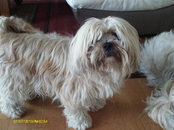 Fany Der Lenn, chien Lhassa Apso