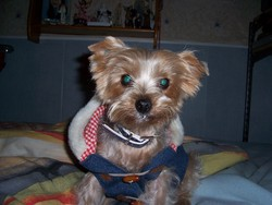 Fany, chien Yorkshire Terrier