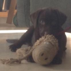 Fany, chien Labrador Retriever