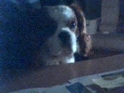 Fanzy, chien Cavalier King Charles Spaniel